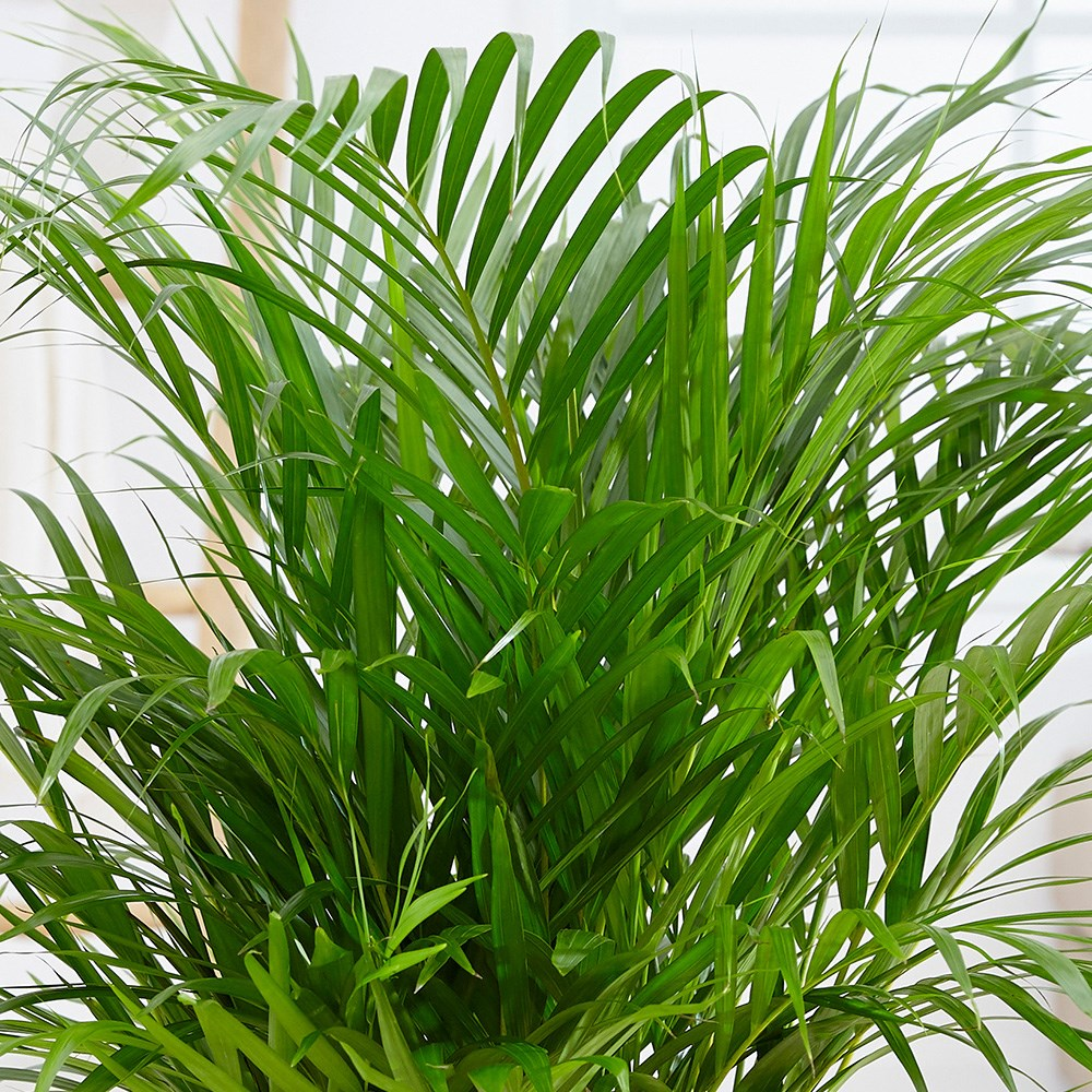 Buy Areca Palm Bamboo Palm Dypsis Lutescens 163 49 99