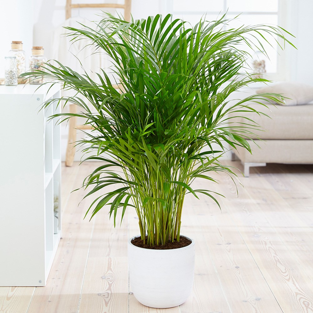 Buy Areca Palm Bamboo Palm Dypsis Lutescens Delivery By