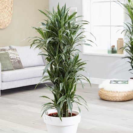 Dracaena fragrans (Compacta Group) 'White Jewel' (PBR)