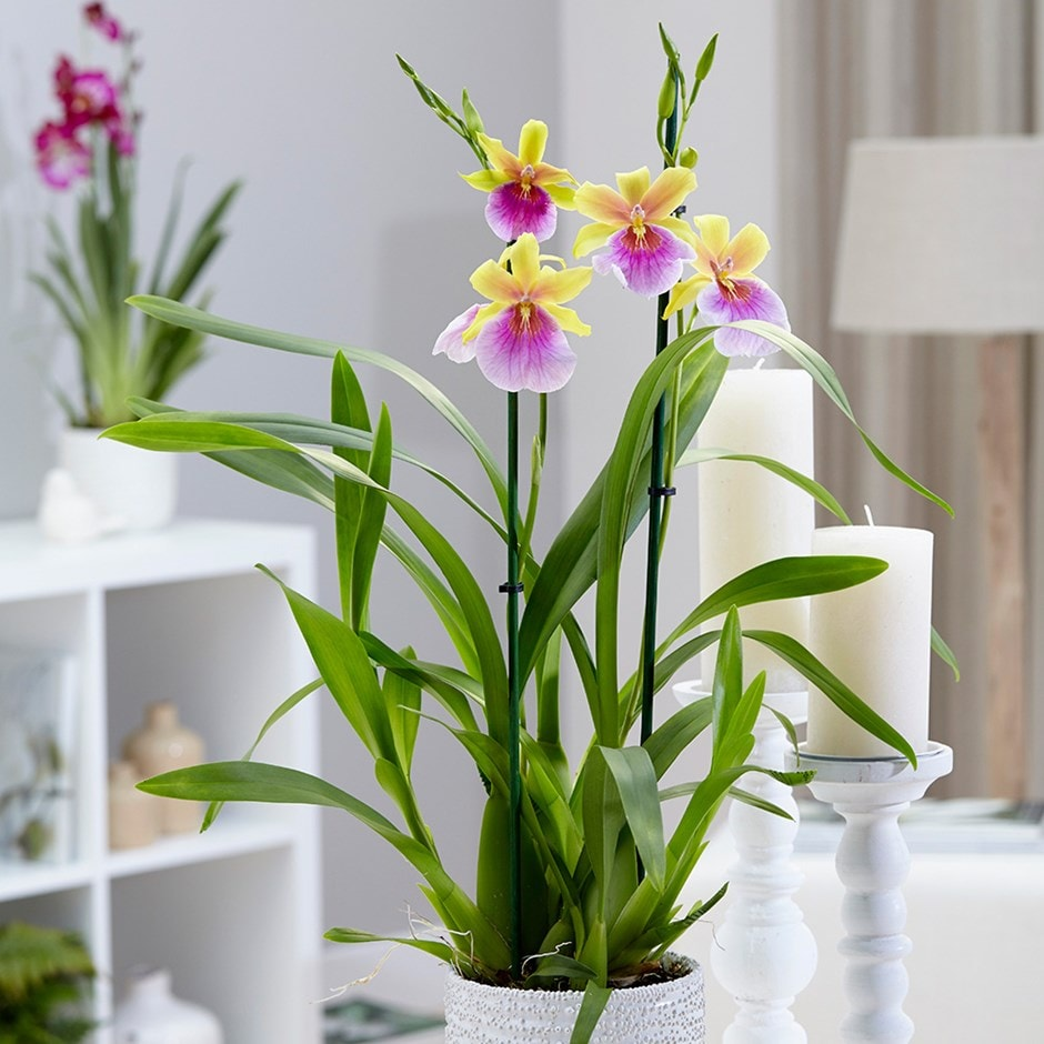 Buy Miltonia Orchid Miltonia Sunset Delivery By