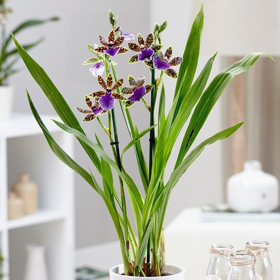 Buy Zygopetalum Orchid Zygopetalum Trozy Blue 163 19 99