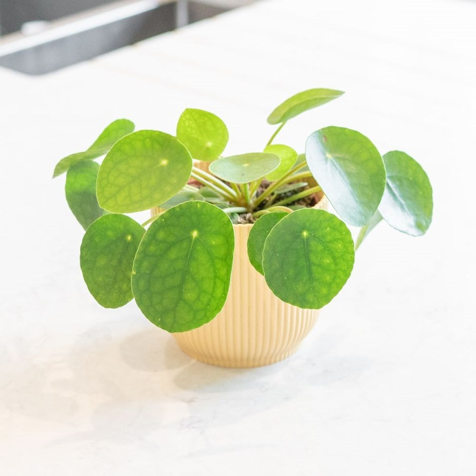 9+ Chinese Money Plant
