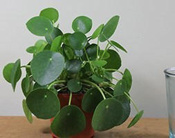 Chinese money plant / missionary plant