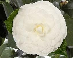 camellia Nuccios Gem