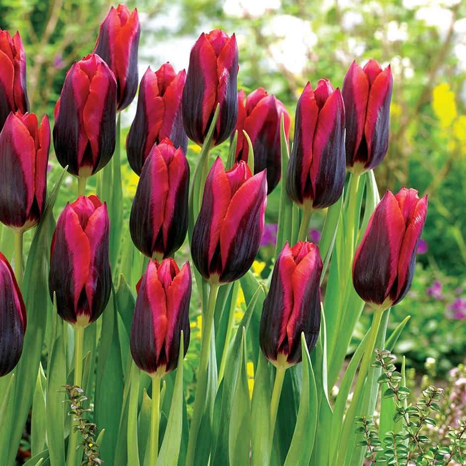 Buy Triumph Tulip Bulbs Tulipa Muvota Delivery By