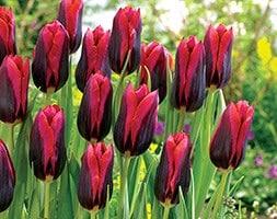 triumph tulip bulbs (syn Muvota )