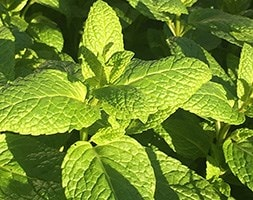 spearmint - garden mint - common mint / Mentha spicata