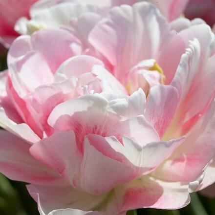 Tulipa Finola
