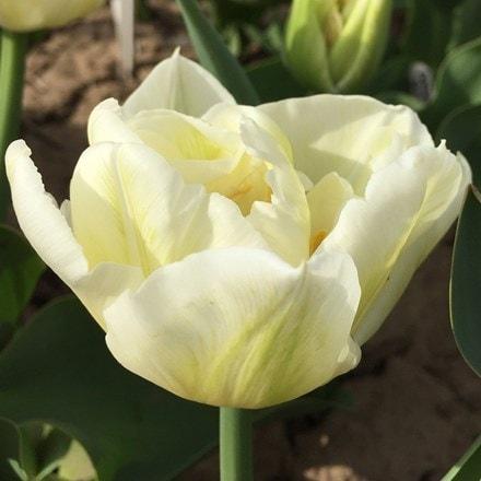 Tulipa Mondial (PBR)