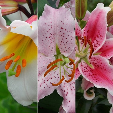 Pink and white lily collection
