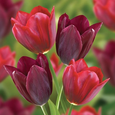 Lipstick tulips - tulip collection