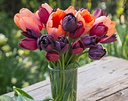 Midnight dream tulip collection