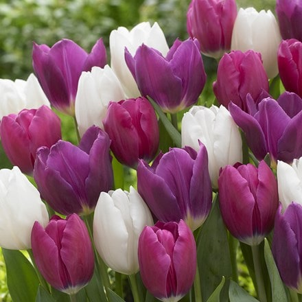 Berries and cream tulip collection