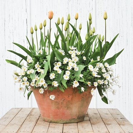 Bulbs for pots - Peach and white