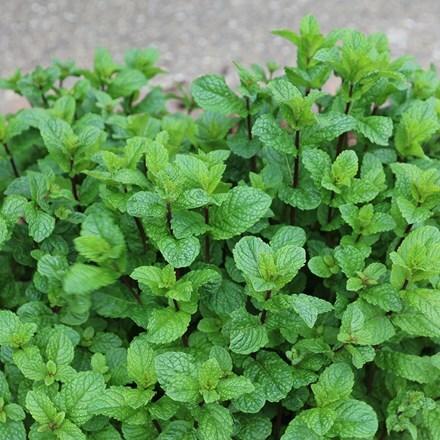 Mentha spicata Tashkent
