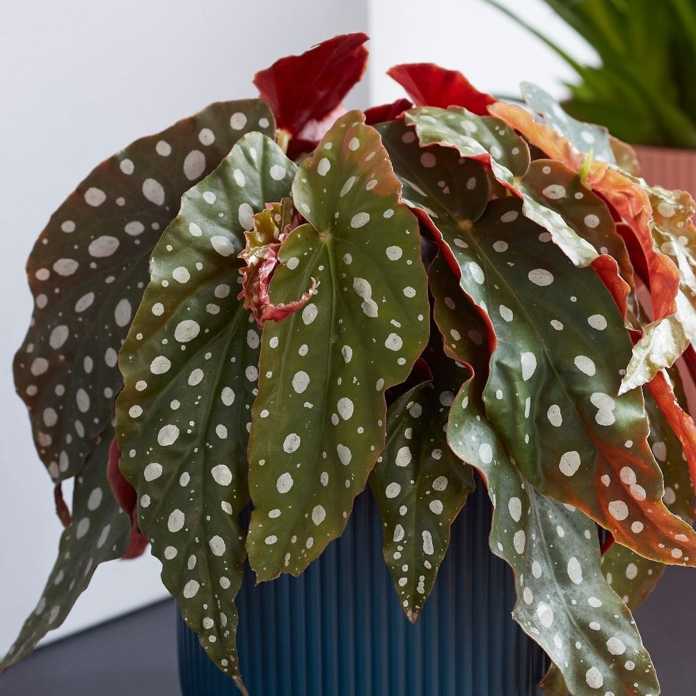 Buy Spotted Begonia Trout Begonia Polka Dot Plant Begonia Maculata 17 99 Delivery By Crocus