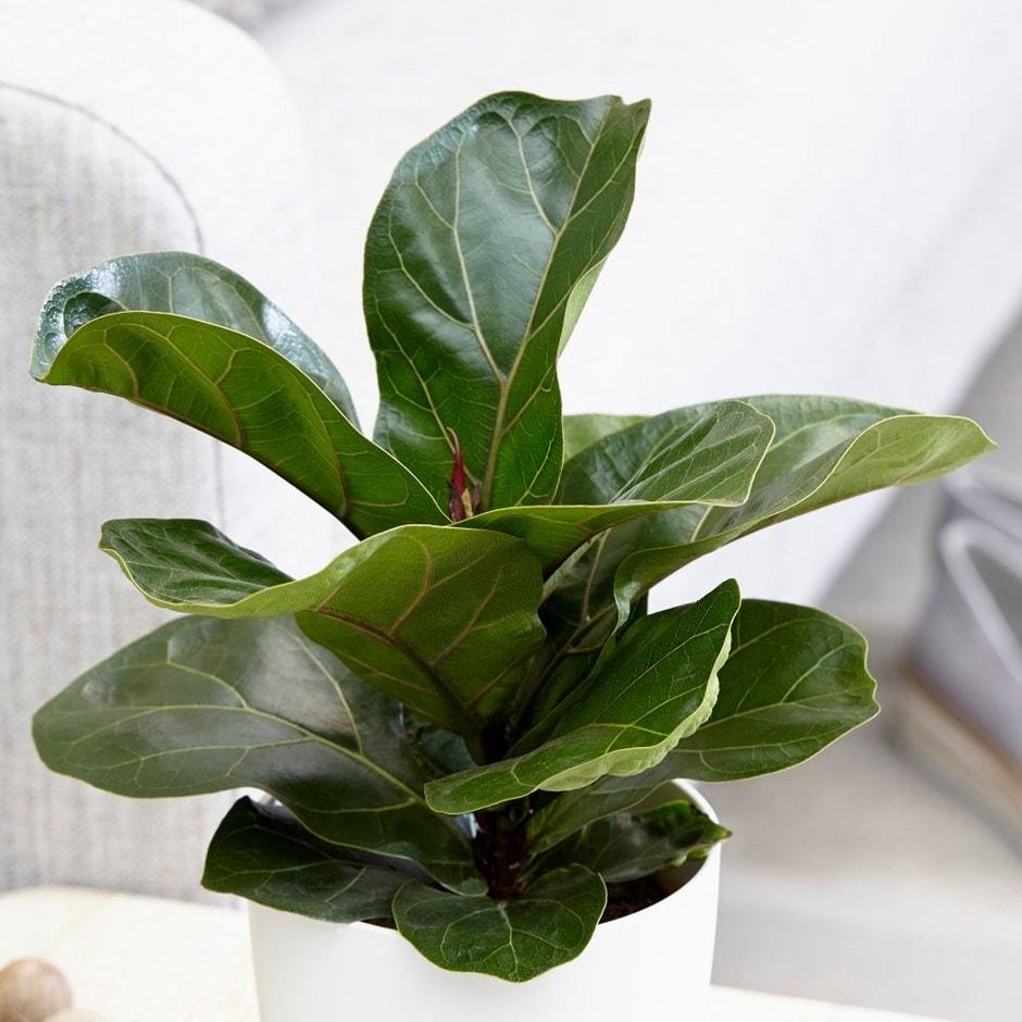 buy fiddle leaf fig ficus lyrata 39 bambino pbr 39 delivery by waitrose garden in association. Black Bedroom Furniture Sets. Home Design Ideas