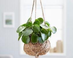kokodama Chinese money plant / missionary plant