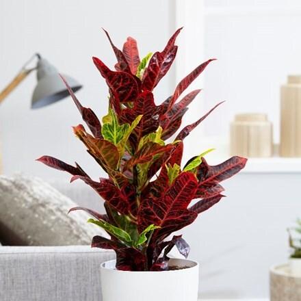 Codiaeum variegatum var. pictum Excellent