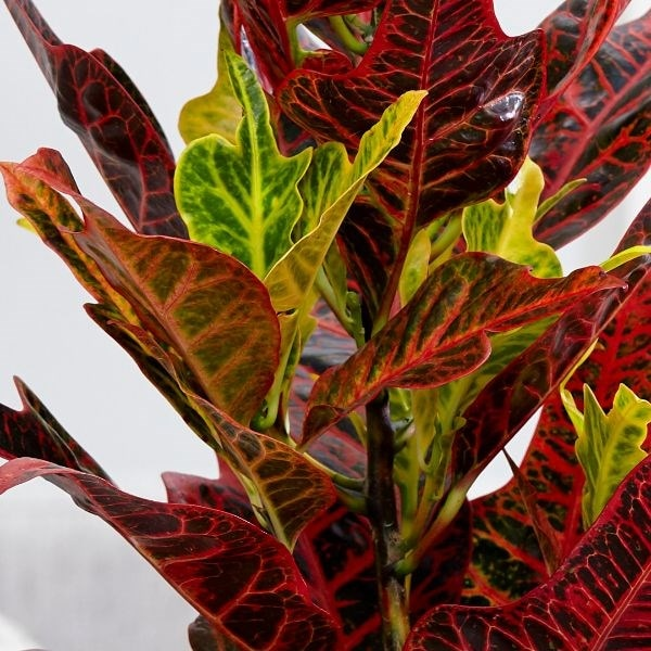 Buy Joseph's Coat (syn Croton ) Codiaeum Variegatum Var