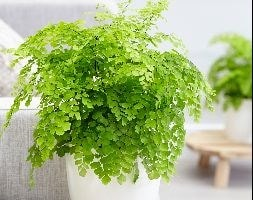 maidenhair fern Fragrans