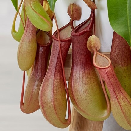 Nepenthes × ventricosa