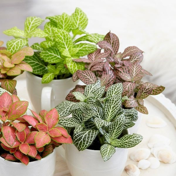 Buy Snakeskin Starter Plants Fittonia Collection 163 5 99