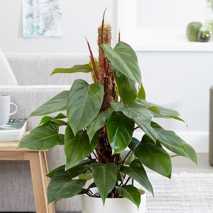 Philodendron erubescens Red Emerald