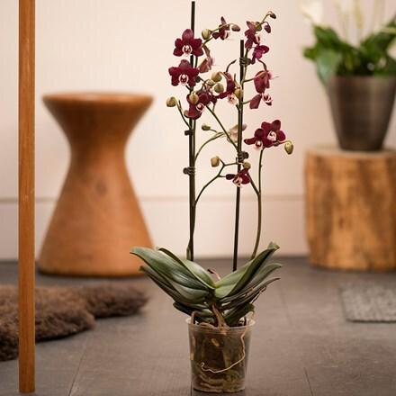 Phalaenopsis Kaoda Twinkle 'Chocolate Drops'