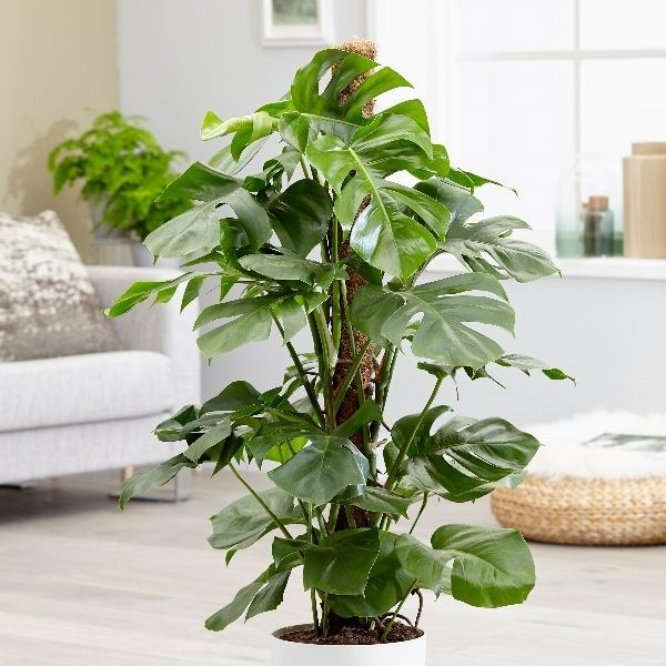 Extra Large 1.2m - swiss cheese plant (syn Mostera pertusum )