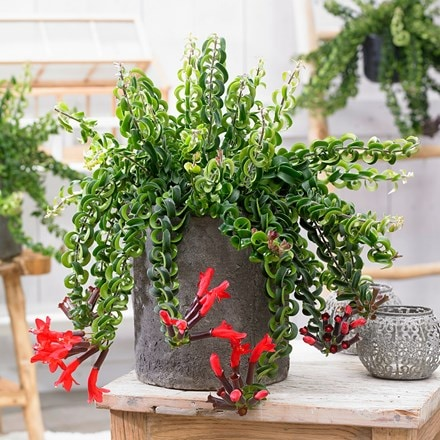 Buy Lipstick Plant Aeschynanthus Twister Xl Pbr 26 99 Delivery