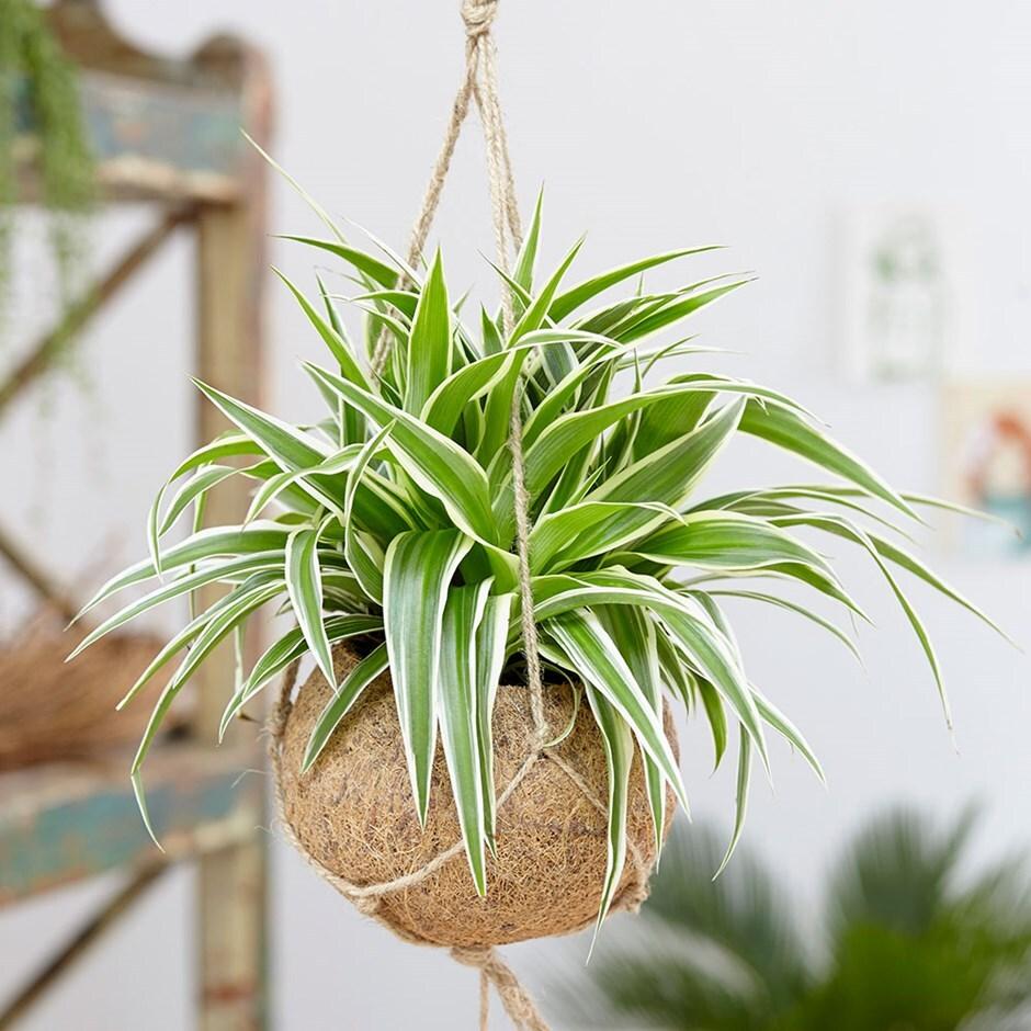 kokodama spider plant