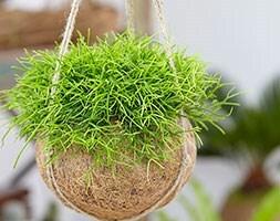 kokodama mistletoe cactus ( Rhipsalis cassutha )