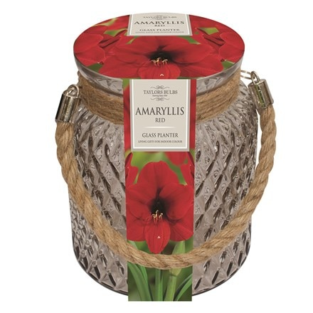 Hippeastrum 'Red Lion' and glass gift jar