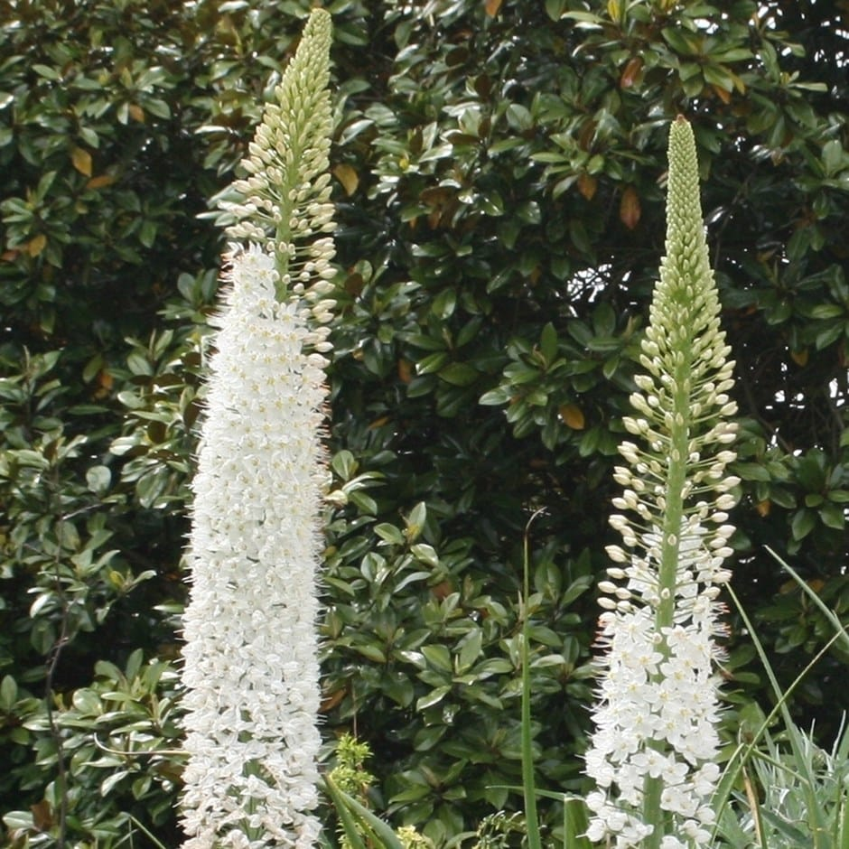 Buy Foxtail Lily Bulb Eremurus Joanna 1299 Delivery By Crocus