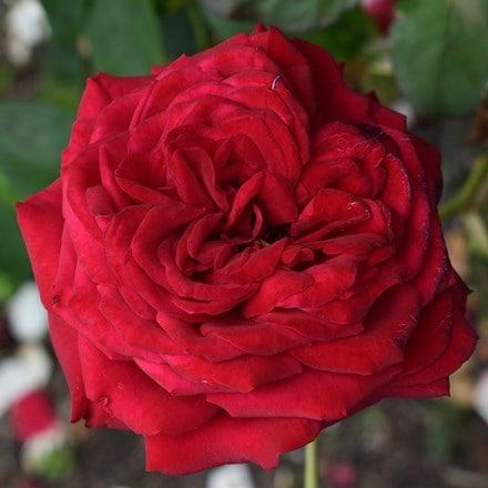 Rosa Loving Memories