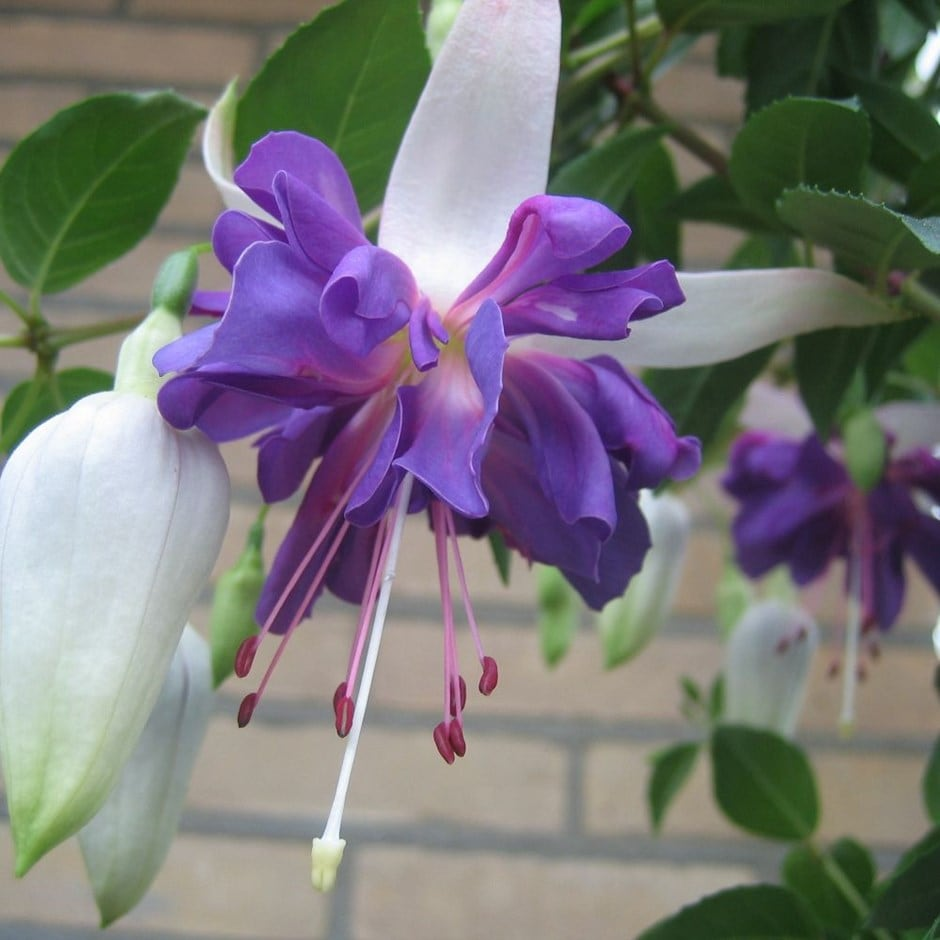 <I>Fuchsia</i> 'Blue Angel'