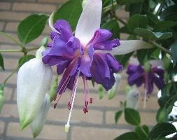 trailing 'Giant Flowered' fuchsia Blue Angel