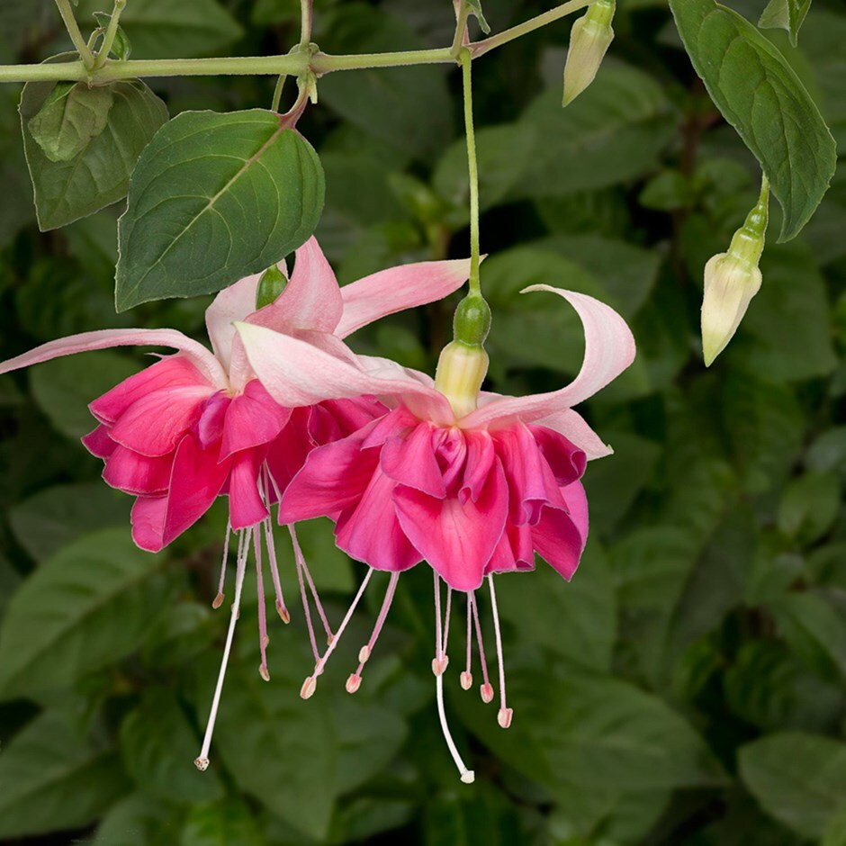 fuchsia  'Giant Flowered' Bella Rosella