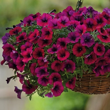 Petunia F1 Shock Wave Deep Purple