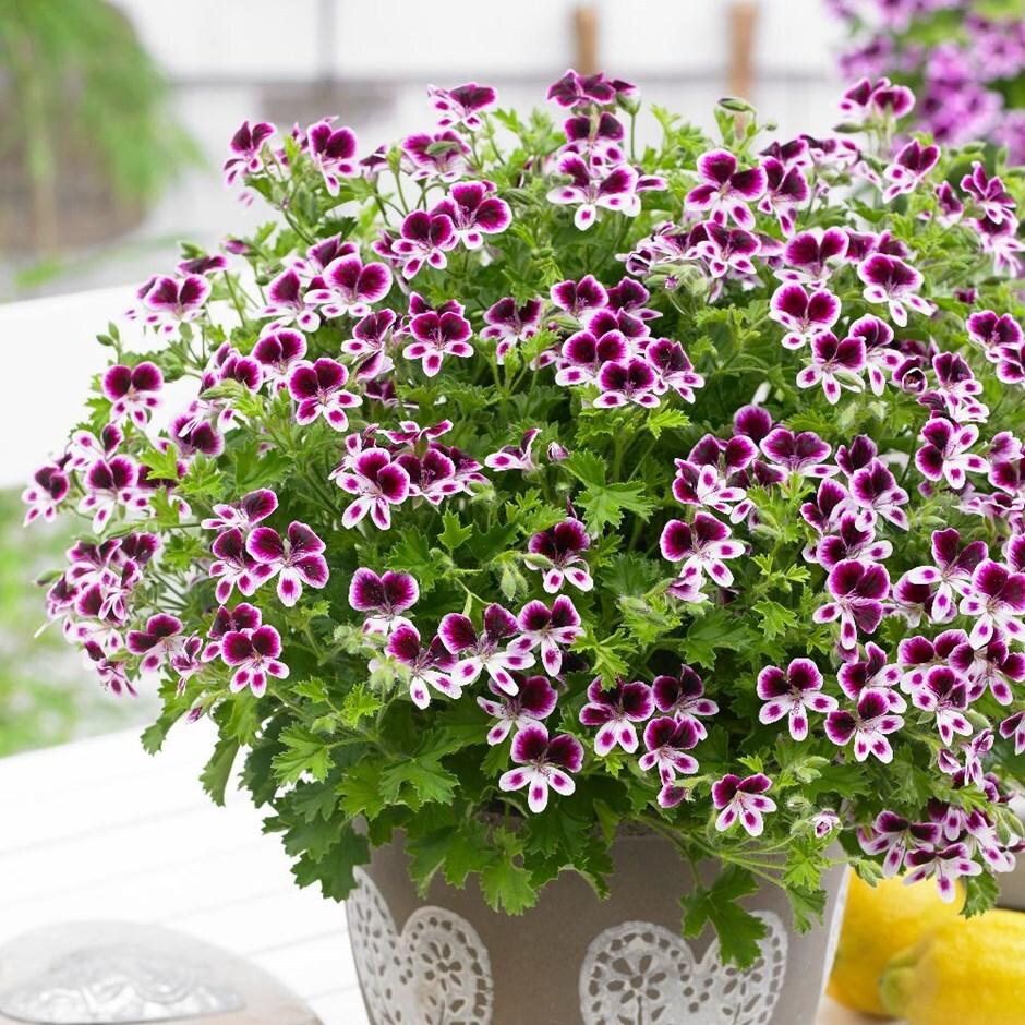 pelargonium 'Mosquitaway Eva'