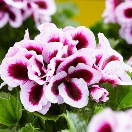 Pelargonium Patricia
