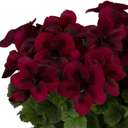 Pelargonium Regalia Chocolate (PBR)