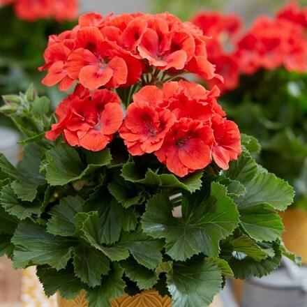 Pelargonium Elegance Rosanna