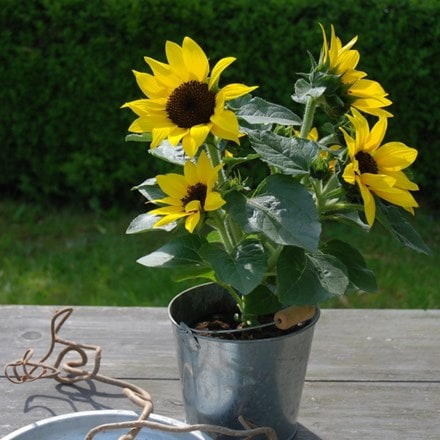 Helianthus annuus Sunsation Yellow (Sunsation Series)