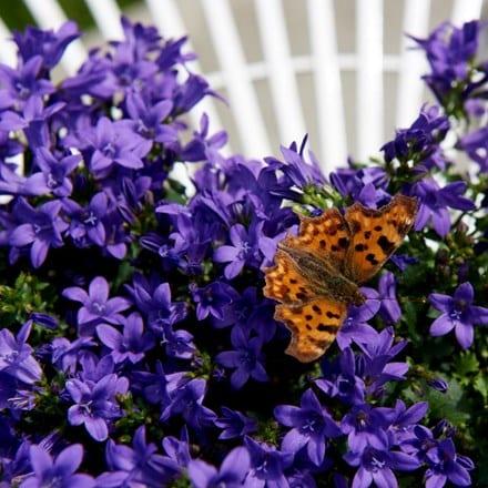 Campanula portenschlagiana Ambella Intens Purple