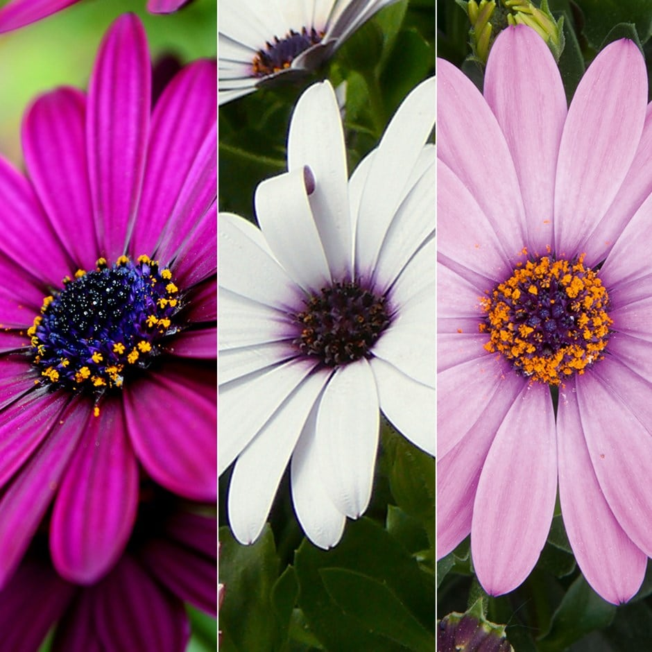 African daisy collection