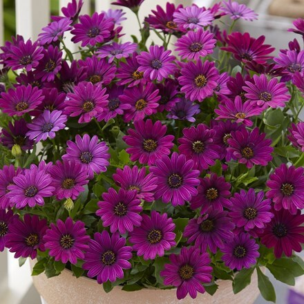 Osteospermum Asrtra Purple Improved