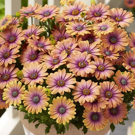 Osteospermum Pink Eyed Beauty