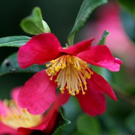 Camellia × vernalis Yuletide